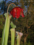 White-top Pitcher Plant: Sarracenia leucophylla