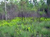 Pitcher Plant Bog (mostly Sarracenia flava)