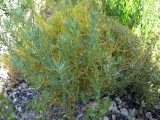 Dodder: Cuscuta approximata on Mugwort
