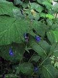 Western Monkshood: Aconitum columbianum
