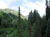 Firs and mountains