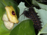 Pipevine Swallowtail caterpillars on Dutchman's Pipe (Aristolochia macrophylla)