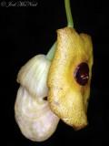 Dutchman's Pipe: Aristolochia macrophylla