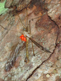 Cranefly with mites