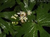 False Bugbane: Trautvetteria caroliniensis
