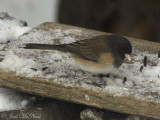 Ohio feeder birds: January 2011
