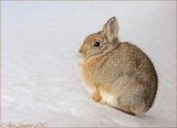 Nuttall's Cottontail Rabbit