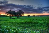 Cornfield in southern Waukesha County