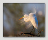 High Island - Great Egrets