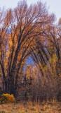 Cottonwoods.jpg