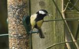 Great Tit with elongated beak