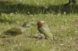 Male feeding Juvenile.jpg