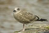 D2_00423     Herring Gull 5.jpg