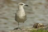 D2_00427     Herring Gull 6.jpg