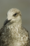 D2_00434     Herring Gull 7.jpg