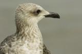 D2_00435     Herring Gull 8.jpg