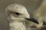 D2_00452     Herring Gull 6.jpg