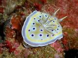 Chromodoris geminus.JPG
