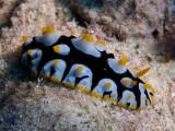 Phyllidia3.JPG