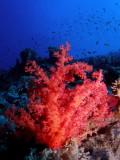 Zacht koraal2.JPG