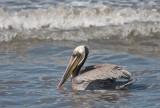 Brown Pelican, Mexico