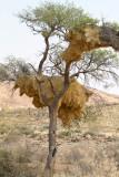 Social Weaver bird's nest