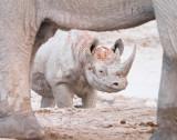 Rhino approaching waterhole guarded by elephants