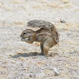 Ground squirrel using tail as sunshade in Etosha