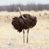 Ostrich, female
