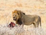 Male lion with zebra kill