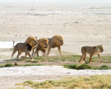 Three male lions compete for female in heat