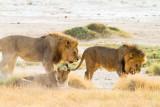 Male lion wins female in heat