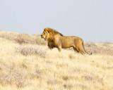 Unsuccessful male lion suitor