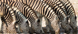 Zebra herd at waterhole