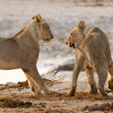 Adolescent lions playing