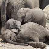Baby elephant playing with ear of resting elephant