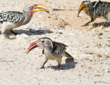 Yellow and red hornbills eating termites