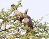 Go away bird feeding fledgling