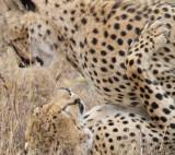 Cheetah, males, playing