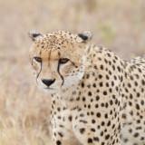 Cheetah, male