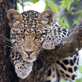 Leopard Cub waiting for mom