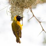 Masked weaver, male, weaving nest