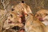 Lions at Cape buffalo kill
