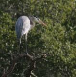 Male Heron