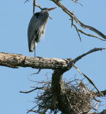 Third heron by the new nest