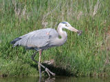 Heron Lunch