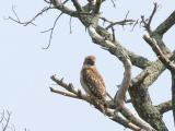 Mating Red Shouldered Hawks