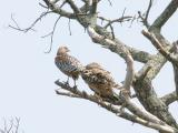 Male (L) and Female (R) Red Shouldered Hawks