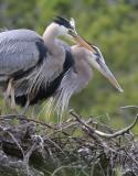 Great Blue Heron Parents