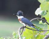 Kingfisher, juvenile